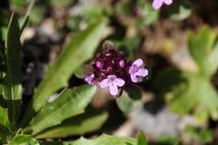 Mother of thyme flowers (Thymus praecox) Stock Photos