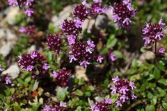 Mother of thyme flowers (Thymus praecox) Royalty Free Stock Photography