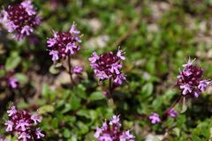 Mother of thyme flowers (Thymus praecox) Stock Photo