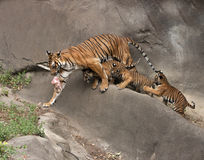 Mother Tiger with Three Cubs Following Her. Mother tiger with meat has three cubs that want her to share stock photo