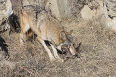 Mother timber wolf picking of pup with mouth. Mother wolf picking up pup with her mouth Royalty Free Stock Photo