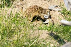 A family of meerkats got out of the hole early in the morning Royalty Free Stock Photos