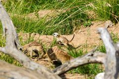 A family of meerkats got out of the hole early in the morning Royalty Free Stock Images