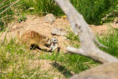 A family of meerkats got out of the hole early in the morning Royalty Free Stock Photography