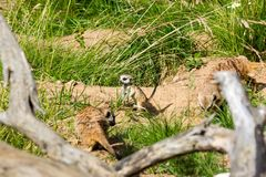 A family of meerkats got out of the hole early in the morning Royalty Free Stock Photo