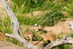 A family of meerkats got out of the hole early in the morning Stock Photo