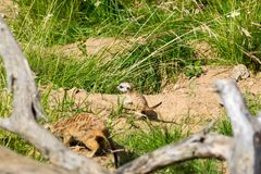 A family of meerkats got out of the hole early in the morning Stock Image