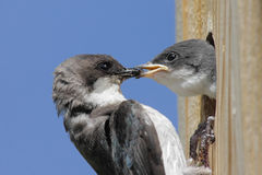 Mother Tree Swallow And Baby Royalty Free Stock Photography