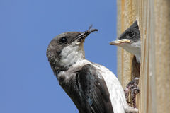 Mother Tree Swallow Feeding Baby Stock Image