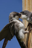 Mother Tree Swallow Feeding Baby royalty free stock image