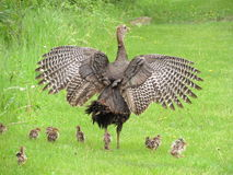 Mother Turkey and Chicks Royalty Free Stock Photos