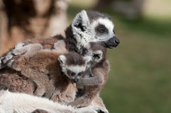 Mother with twins Royalty Free Stock Images