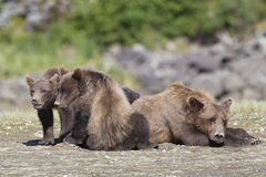 Mother and two cubs resting. Mother brown bear with two cubs resting Royalty Free Stock Image