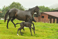 Mother and two day old horses running in field Royalty Free Stock Images