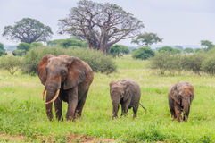 Mother and two elephant calves in Tarangire Park, Tanzania Stock Photography