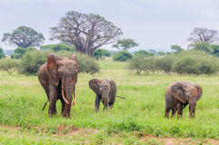 Mother and two elephant calves in Tarangire Park, Tanzania Royalty Free Stock Images