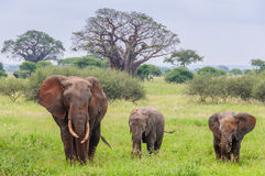Mother and two elephant calves in Tarangire Park, Tanzania Royalty Free Stock Photography