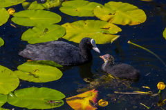Mother and Ugly ducking in lily pads stock photography