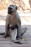 Mother Vervet Monkey with Baby Royalty Free Stock Photo