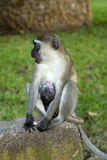 Mother vervet monkey with baby. Vervet monkey and her baby photographed in Diani (Kenya) within the walls of a beach hotel Stock Photos