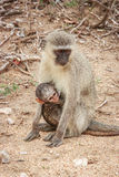 Mother Vervet monkey with a baby. Royalty Free Stock Image
