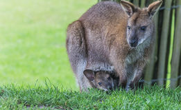 Mother wallaby with child Stock Image