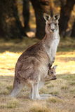 Mother Wallaby with Joey Stock Photo