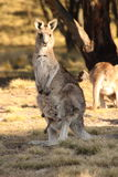 Mother Wallaby with Joey Royalty Free Stock Image