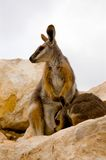 Mother Wallaby & Joey. A mother wallaby and her joey royalty free stock images