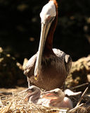 Mother watching her young Pelicans. Mother brown Pelican calmly stands watch over her young chicks in a nest Stock Photography