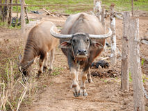 Mother water buffalo looking at viewer, with calf. Mother water buffalo with calf Royalty Free Stock Image