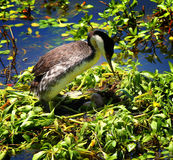 Mother Western Grebe on a Nest of Eggs. Mother Western Grebe on a nest of two eggs in a pond royalty free stock photo