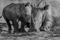Mother White rhino with a baby calf. In the mud in black and white, South Africa royalty free stock image