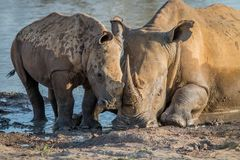 Mother White rhino with a baby calf. In the mud, South Africa stock photography