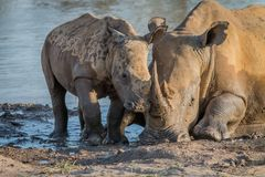 Mother White rhino with a baby calf. In the mud, South Africa royalty free stock photos