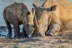 Mother White rhino with a baby calf. In the mud, South Africa stock photo