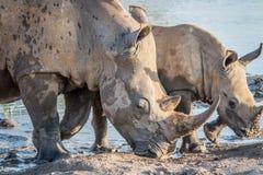 Mother White rhino with a baby calf stock photos