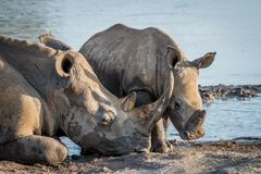 Mother White rhino with a baby calf royalty free stock photo