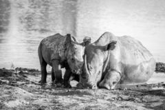 Mother White rhino and baby calf by the water. In black and white, South Africa royalty free stock photography