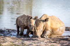 Mother White rhino and baby calf by the water. South Africa stock images