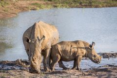 Mother White rhino and baby calf by the water. South Africa stock photos