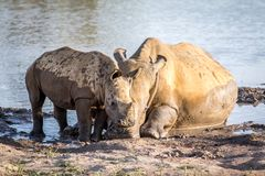 Mother White rhino and baby calf by the water. South Africa stock image