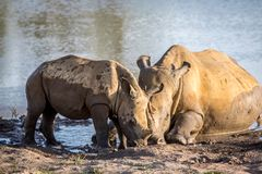 Mother White rhino and baby calf by the water. South Africa royalty free stock photos