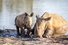 Mother White rhino and baby calf by the water. South Africa royalty free stock image