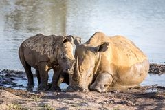 Mother White rhino and baby calf by the water. South Africa royalty free stock photography