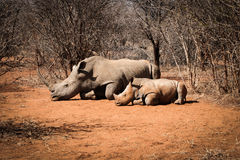 Mother White rhino with her baby Rhino Royalty Free Stock Photo