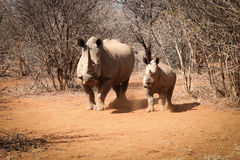Mother White rhino with her baby Rhino Stock Images