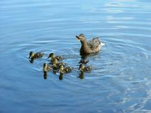 Mother With Newborn Ducklings Royalty Free Stock Images