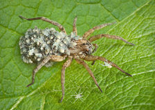 Mother wolf spider with babies Royalty Free Stock Photography