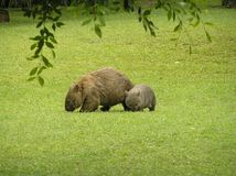 A mother Wombat and baby. A mother Wombat keeping her baby close by in case of danger while eating grass, Australia Stock Photography